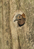 Male Northern Flicker at nest in early June. Warbler Rock, Central Park. New York, NY.