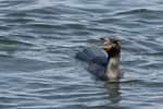 Adult Double-crested Cormorant in breeding plumage in mid-April.