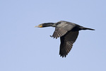 Adult Double-crested Cormorant in flight in mid-June.