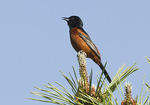 Adult male Orchard Oriole Singing in Pine in early June.