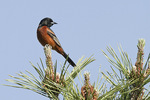 Adult male Orchard Oriole in Pine in early June.