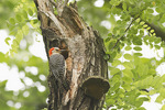 Adult female Red-bellied Woodpecker at nest in Black Locust (Robinia pseudoacacia) in early June.