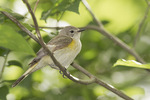 Female American Redstart on spring migration in mid-June.