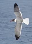 Adult Laughing Gull in flight in mid-June.