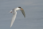 Adult Forster's Tern in flight in mid-June.