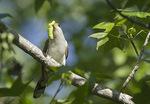 Yellow-billed Cuckoo in mid-June.