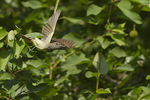 Great Crested Flycatcher takes flight in late June.