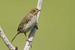 Saltmarsh Sparrow in late June.  Formerly Saltmarsh Sharp-tailed Sparrow.