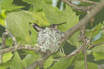 Female Ruby-throated Hummingbird at nest in late June.