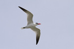 Caspian Tern in flight in mid-March.