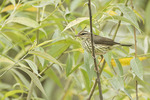 Northern Waterthrush in willow in early July.