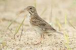 Vesper Sparrow in early July.