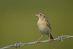 Adult male Grasshopper Sparrow in early July.