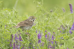 Savannah Sparrow in Cow Vetch (Vicia cracca) in early July.