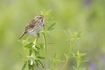Savannah Sparrow perched in sweet clover (Melilotus sp.) in early July.