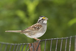 Singing adult male White-throated Sparrow in late June.