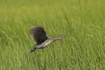 Clapper Rail in flight in salt marsh late June.