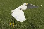 Snowy Egret taking flight.