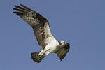 Adult female Osprey in flight in late June.