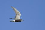 Black Tern in flight in early July.