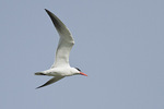 Caspian Tern in flight in early July.