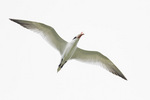 Caspian Tern in flight in early July.