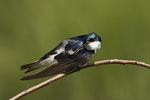 Adult Tree Swallow scratching.