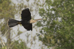 Female Anhinga in flight in mid-March.