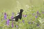 Adult male Bobolink in Cow Vetch (Vicia cracca) in early July.