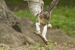 Juvenile Red-tailed Hawk playing with a stick in late June.