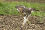 Juvenile Red-tailed Hawk running on the ground in late June.