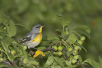 Male Northern Parula in late July.