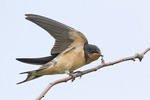 Juvenile Barn Swallow stretching its wings in mid-July.