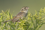 Adult Henslow's Sparrow singing in mid-July. Henslow's Sparrow is endangered in Indiana.