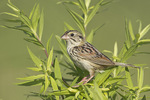 Adult Henslow's Sparrow in mid-July. Henslow's Sparrow is endangered in Indiana.