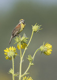 Male Dickcissel singing in mid-July.