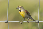 Male Dickcissel perched on fence in mid-July.