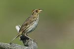 Saltmarsh Sparrow in late June.