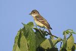 Willow Flycatcher in mid-July.