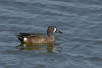 Male Blue-winged Teal in early March.