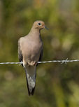 Mourning Dove perched on fence in early March.
