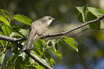 Yellow-billed Cuckoo in early August.
