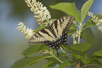 Female Tiger Swallowtail on Sweet Pepperbush (Clethra alnifolia) in early August.