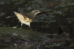 Louisiana Waterthrush in early August on fall migration.