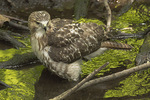 Juvenile Red-tailed Hawk in early August.