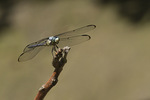 Male Great Blue Skimmer in mid-August.