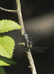 Great Blue Skimmer pair mating in late July.
