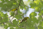 Lawrence's Warbler and Blue-winged Warbler in mid-August on fall migration.