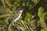 Juvenile Eastern Kingbird in mid-August.