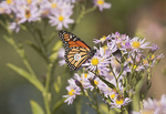 Tagged Monarch Butterfly nectaring on aster in early October.